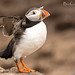 Little clown- puffin, Fratercula arctica by Billy Clapham