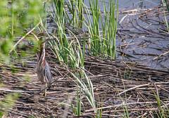 Green Heron on Reeds