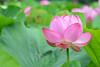 Lotus flower, Ueno Park by Yasuz