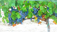 Cyprus_wine_mataro_vineyards_fikardos_5