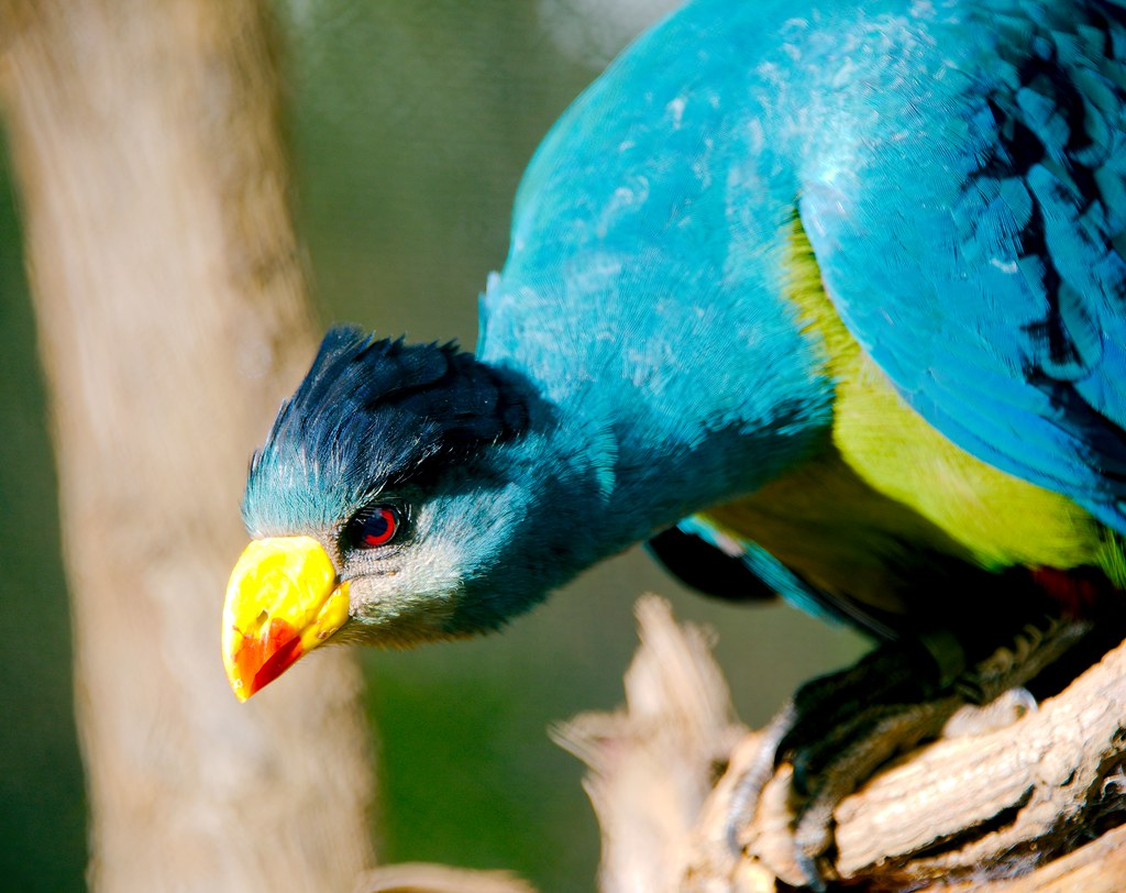 Great Blue Turaco (Corythaeola cristata)_2