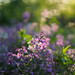Phlox Field by MacDonald_Photo