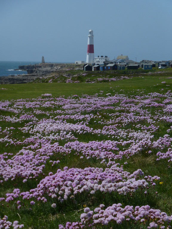 Thrift on Portland Bill