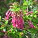 Small photo of Abelia floribunda