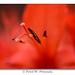 Au coeur de la fleur de Crocosmia by Patrick M Photographie