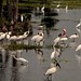 Wood Storks (Mycteria americana) as well as Great Egrets and Roseate Spoonbills by Mary Keim