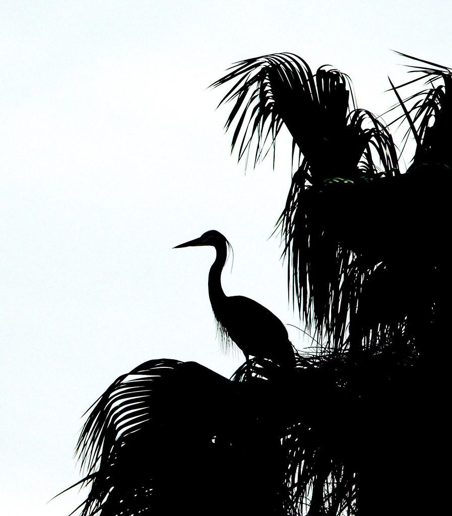 Blue Heron_3