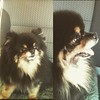 Cordelia the #pomeranian #dog (132&133 of 365) our road trip companion, the BEST!