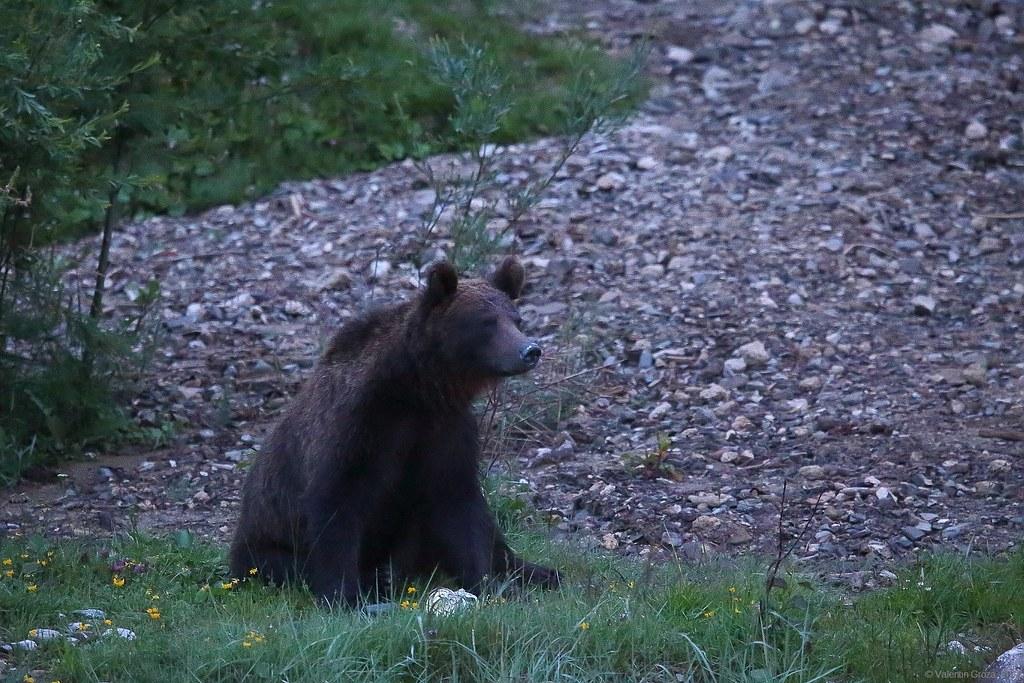 urs valea cerbului 02