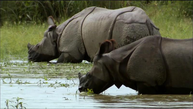 只要對犀牛角的需求仍在,世界上便難找到一個犀牛可以安心生活的棲地。(動物星球頻道提供)