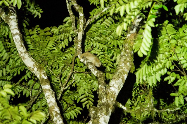 Wild Slow Loris, Bukit Tapan, Kerinci, Sumatra, Indonesia