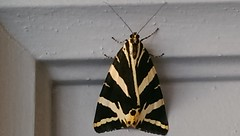 L'Écaille chinée - papillon - Euplagia quadripunctaria - Photo of Montbartier