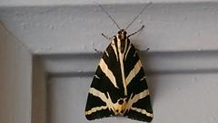 L'Écaille chinée - papillon - Euplagia quadripunctaria - Photo of Monbéqui