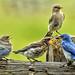 Mountain Bluebird Family Portrait by Jeff Clow