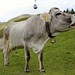 Cow. Serfaus. Austria.