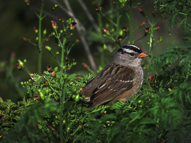 White-crowned sparrow with jelly on his face; The Presidio, San Francisco.  April 29, 2015