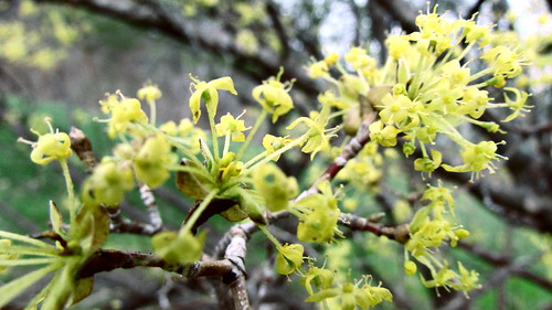 Burst of Yellow Blossoms