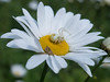 Spider making his trap on a daisy