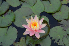 Hardy Water-Lily