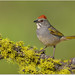 Green-tailed Towhee by BN Singh