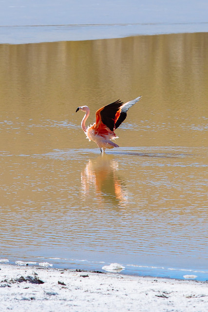 Flamingo Chileno