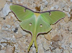 # 7758 – Actias luna – Luna Moth
