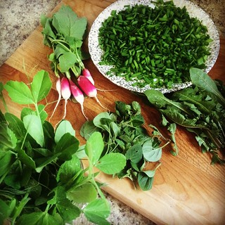Early harvest: thinning peas and radishes, taming chives, oregano, and dandelions. #gardening