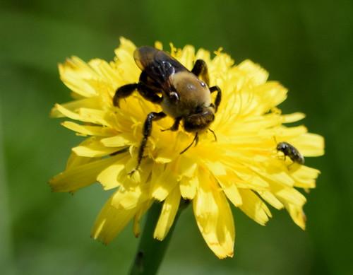 Hibiscus Bee  (Ptilothrix bombiformis)