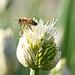 Honeybee's Take Off from Leek Flora(파꽃에서 이륙중인 꿀벌)