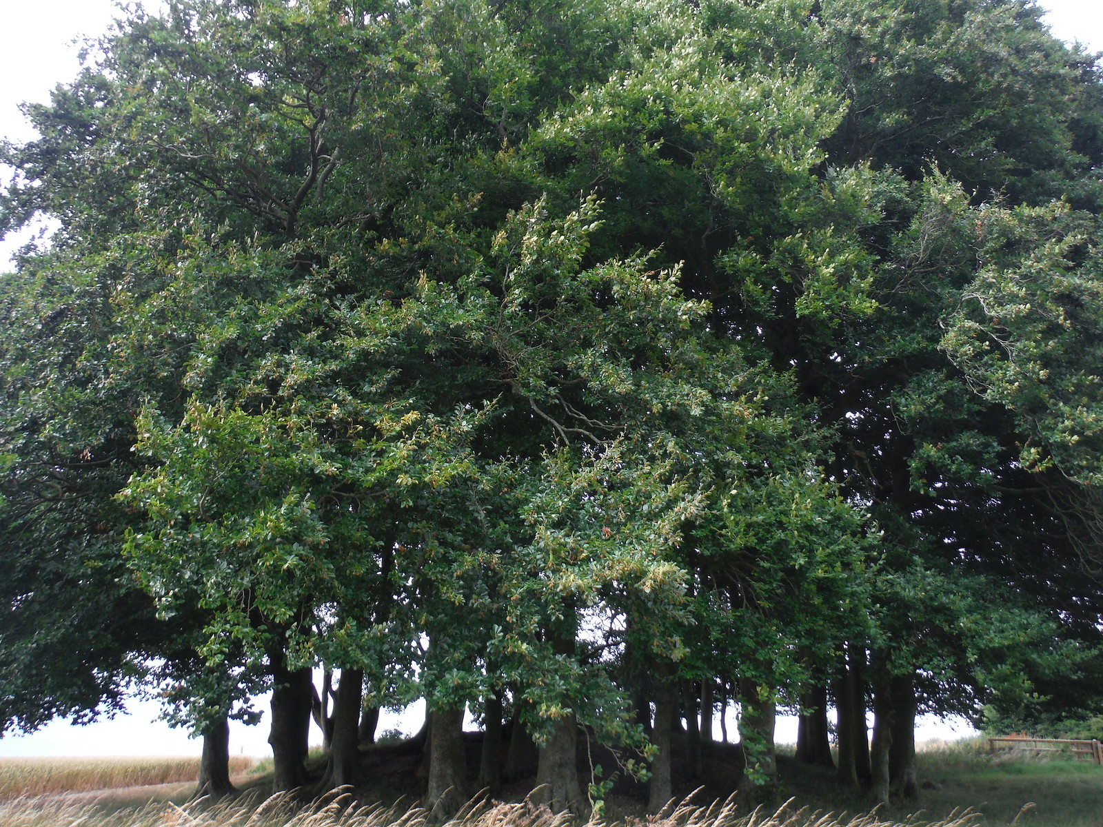 'Hedgehog': beeches on barrow, near The Sanctuary SWC Walk 255 Pewsey or Marlborough Circular via Avebury