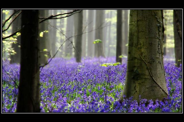 Forest of Halle, Belgium.