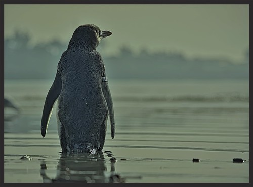 Little Blue Penguin. looking out to sea; waiting t...