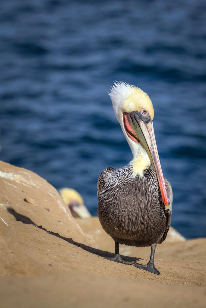 Pelican, La Jolla