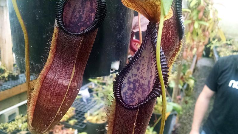 Nepenthes singalana × hamata.