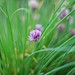 Chive flowers by Bowhaus