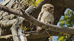 Spotted owlet ...