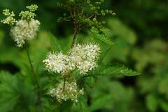 Filipendula ulmaria (meadowsweet, queen of the meadow), Beverage Garden, National Herb Garden