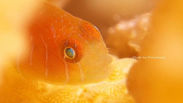 フタイロサンゴハゼ幼魚♪