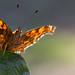 Gehakkelde Aurelia - Comma Butterfly - Polygonia c-album by wimzilver