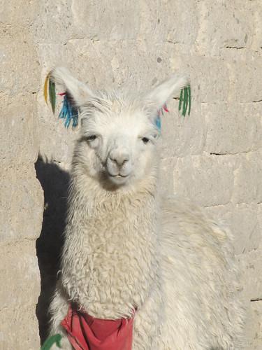 Le Sud Lipez: un enclos à lamas dans notre village