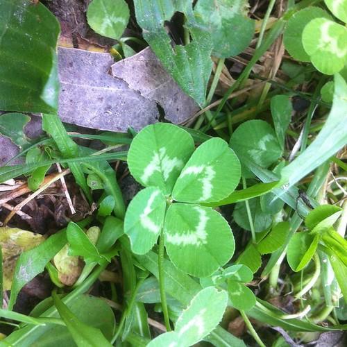 See you soon #Bundanon Thanks @bundanontrust :) @bigfagpress #wildfood #wildfoodmap #clover #trifolium #fourleavedclover