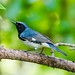 Male Black-throated Blue Warbler (Setophaga caerulescens)