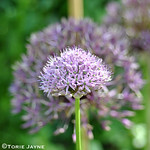 Alliums Blooming