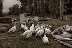 Turkeys at a Fish Farm