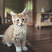 Maine Coon Nugget by -Edward
