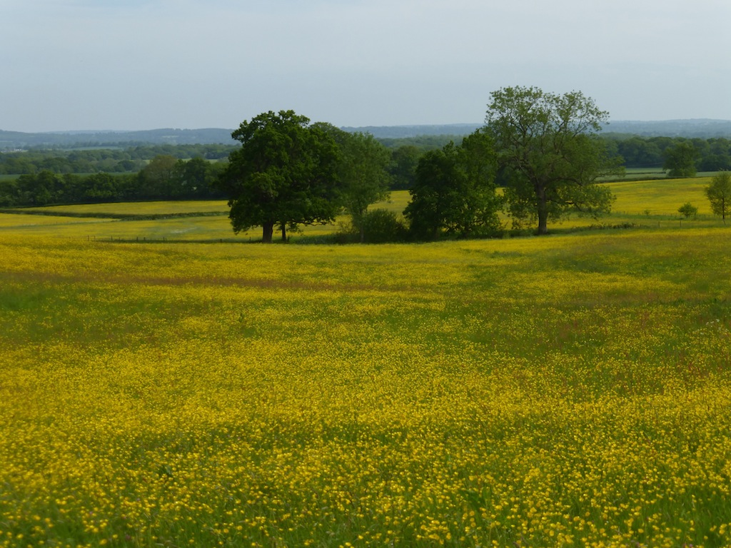 Buttercup meadow, Tandridge Earlswood to Otford walk