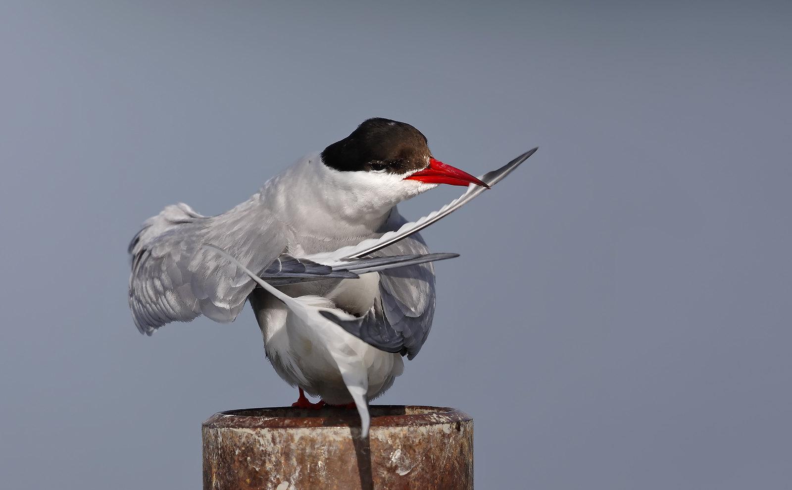 Arctic Tern preening