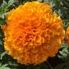 A giant #marigold in #Oakville in #August
