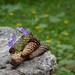 Trentino, Val Venegia, strobili di abete rosso e fiori di geranio selvatico by adrianaaprati