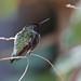 Hummingbirds in our Backyard - 1 by fksr